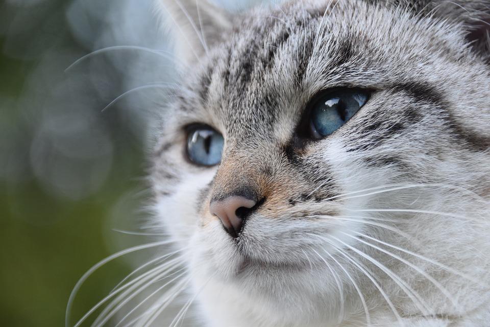 Cat, Alley Cat, European Cat, Cat Blue Eyes, Animal