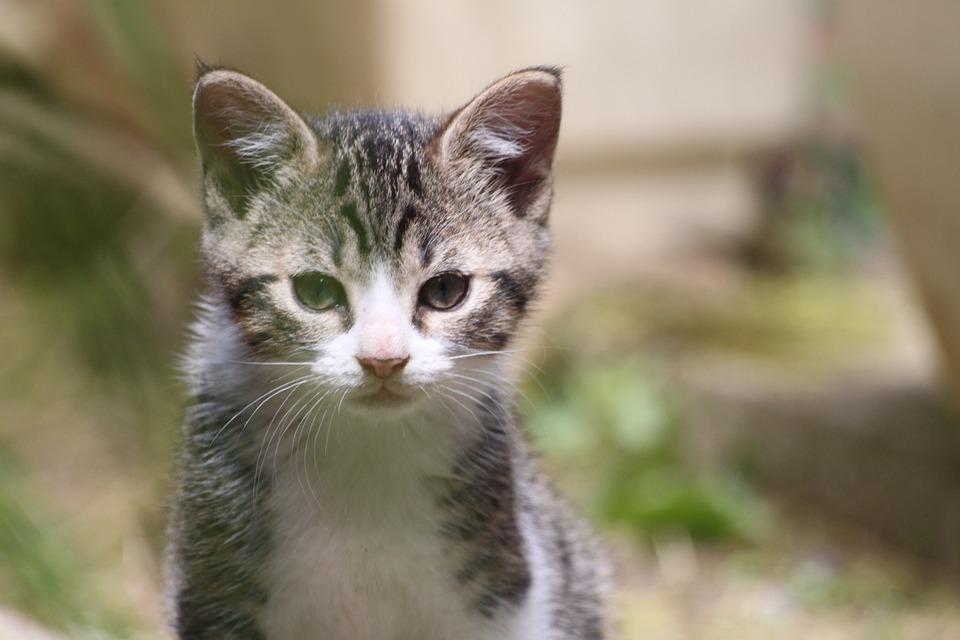 Domestic Animal, Kitten, European Cat, Tabby, Cute