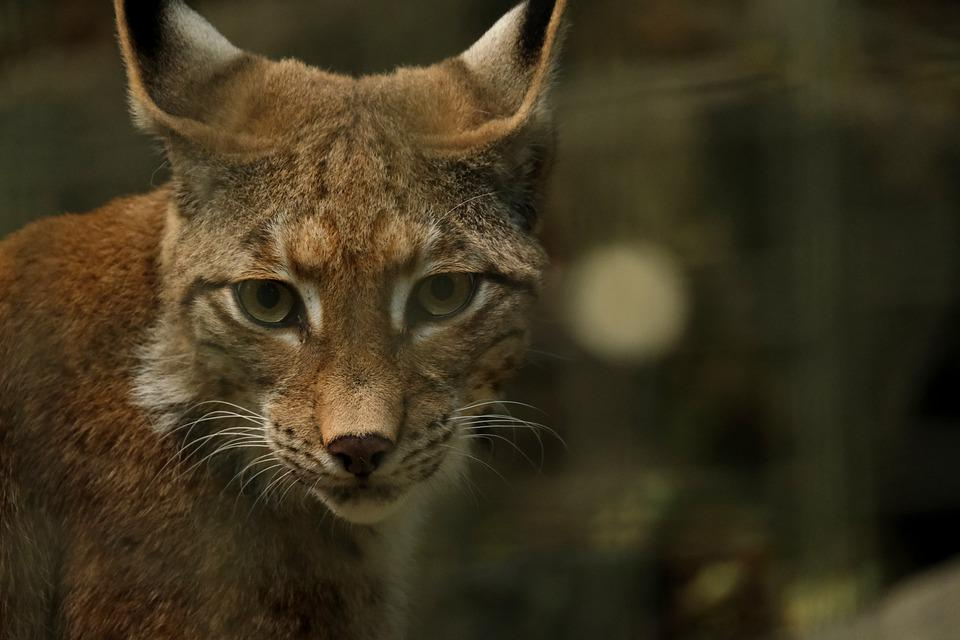 Lynx, Animal, Predator, European Lynx, Wildcat