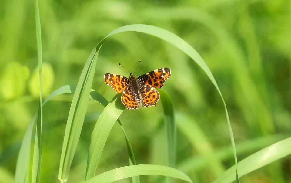 European Map, Butterfly, Insect, Edelfalter, Wait