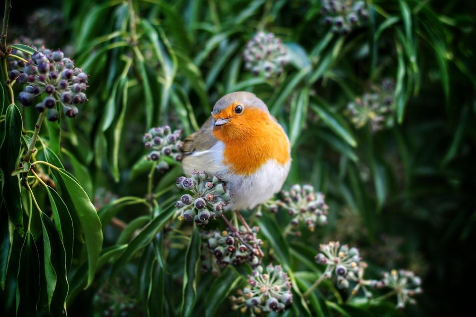 Beak, Bird, European Robin, Robin, Animal