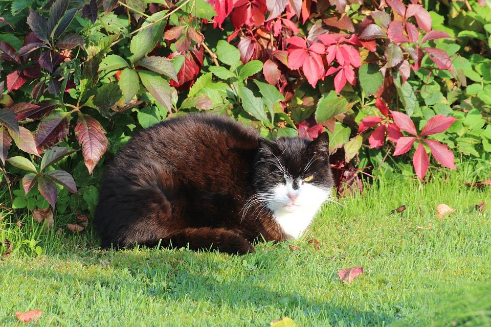 Cat, Domestic Cat, European, Short Hair, Felidae