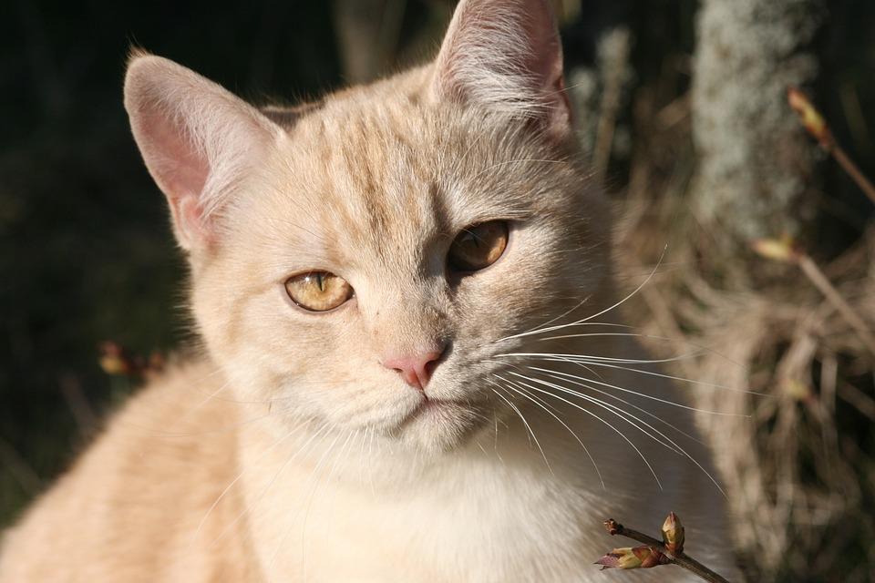 Cat, Domestic Cat, European Shorthair, Ekh