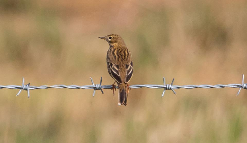 Meadow Pipit, Song Bird, Songbird, Pipit, European