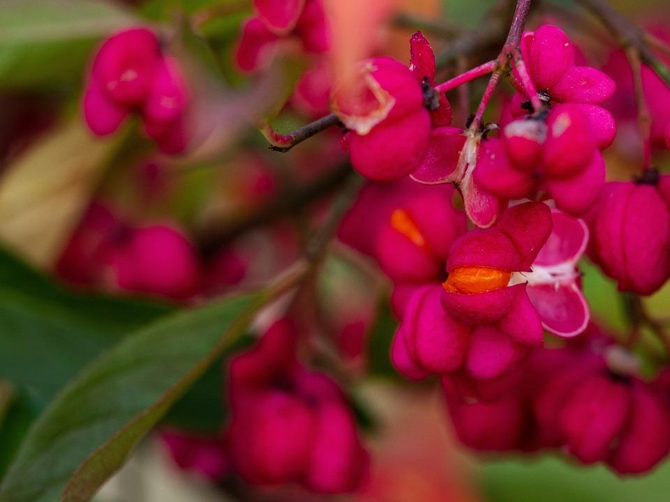 Spindle, Fruits, Plant, Shrub, Tree, European Spindle