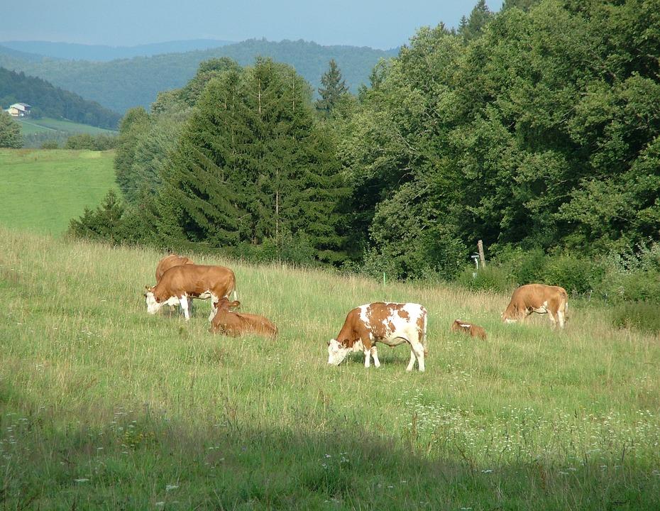 Evening, Animals, Peace, Pasture, Grass, Bavaria