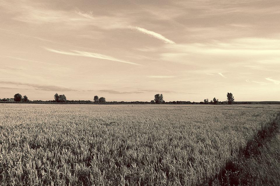 Landscape, Cornfield, Trees, Evening, Lighting