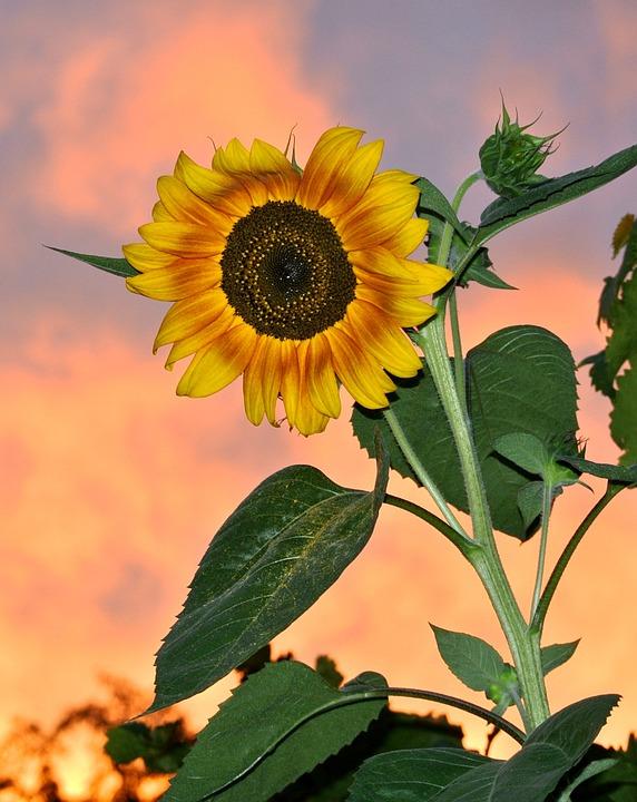 Evening, Plant, Nature, Flower, Summer, Leaf