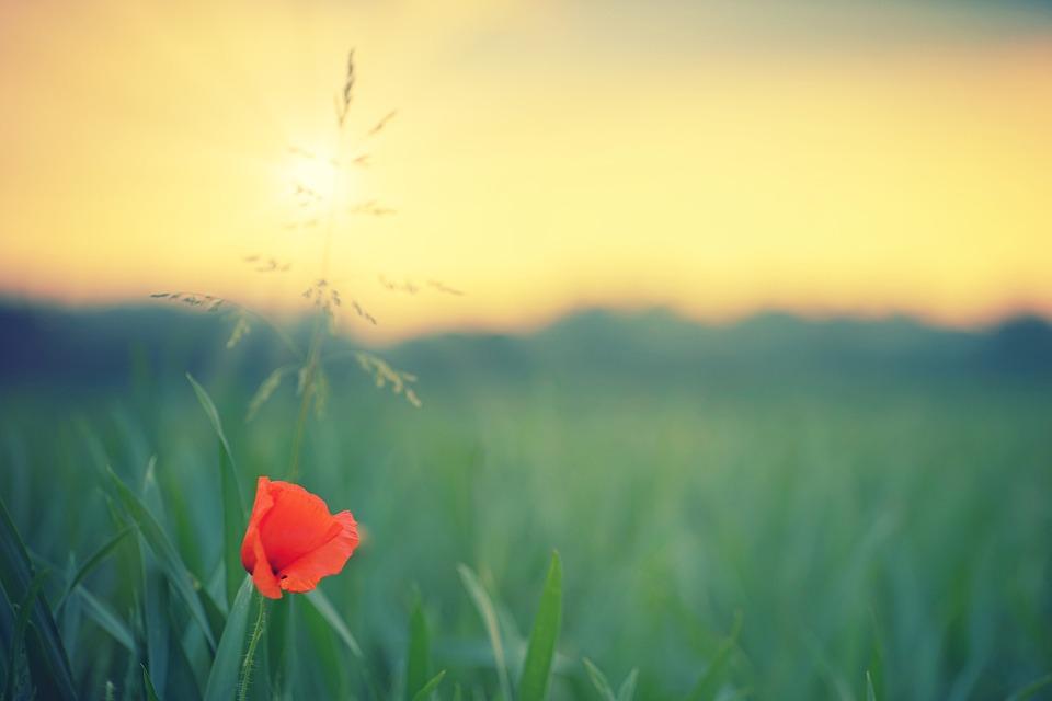 Poppy, Field, Sun, Evening, Grass, Red, Klatschmohn