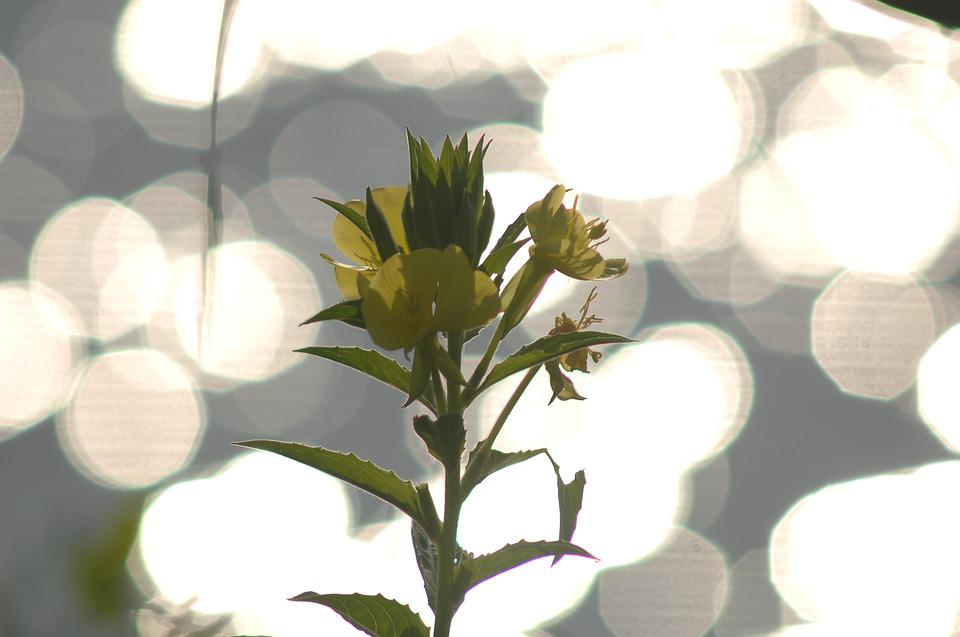 Bokeh, Light, Backlight, Evening Primrose