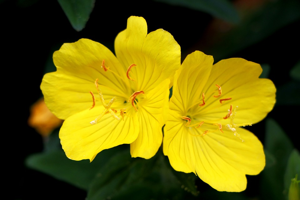 Evening Primrose, Plants, Flowers, Nature, Tabitha