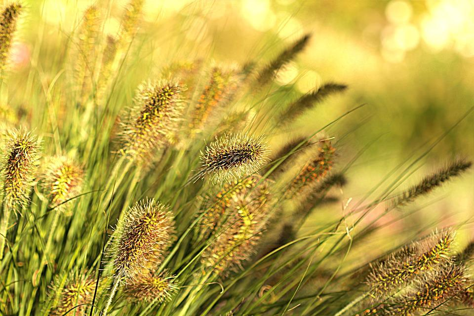 Plant, Grasses, Wind, Evening Sun, Garden