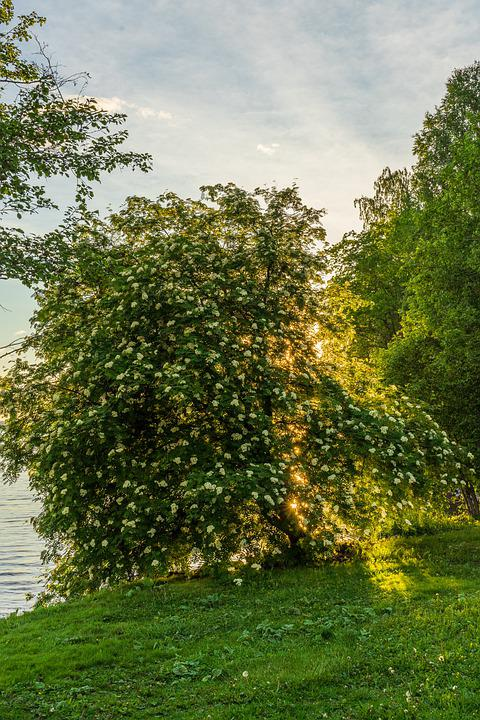 Rowan, Flower, Spring, Nature, Sunset, Evening, Lake