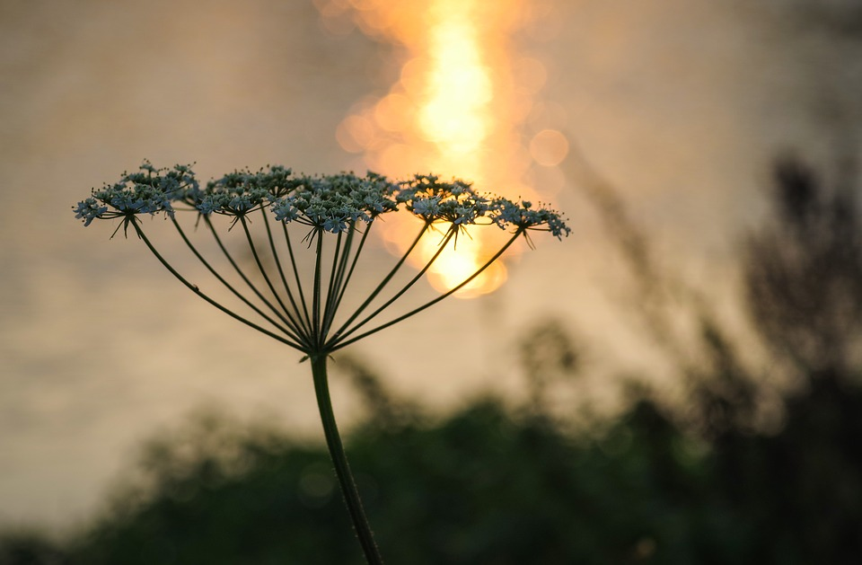 Wild Carrot, Flower, The Silhouette, Water, Evening