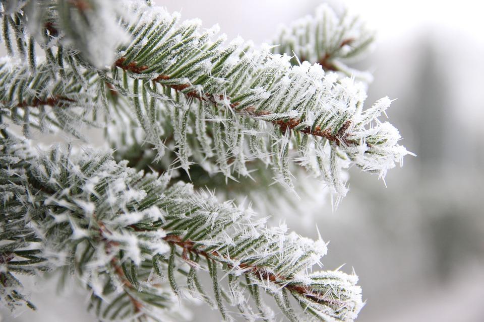 Winter, Tannenzweig, Branch, Conifer, Wintry, Evergreen