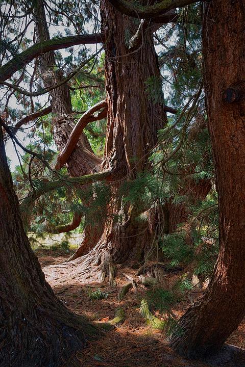 Tree, Conifer, Redwood, Sequoia, Evergreen, Nature