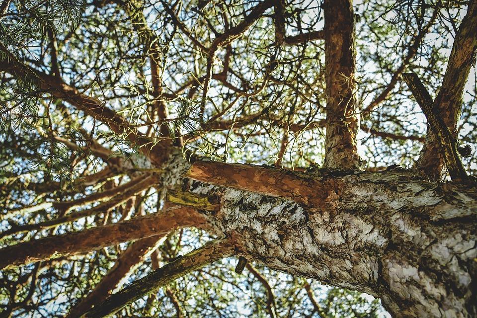 Tree, Strain, Pine, Nature, Branches, Evergreen