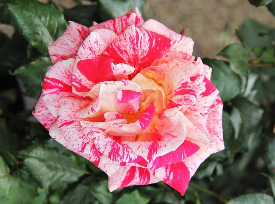 Floribunda, Rose Bloom, Exceptional, Color Variety
