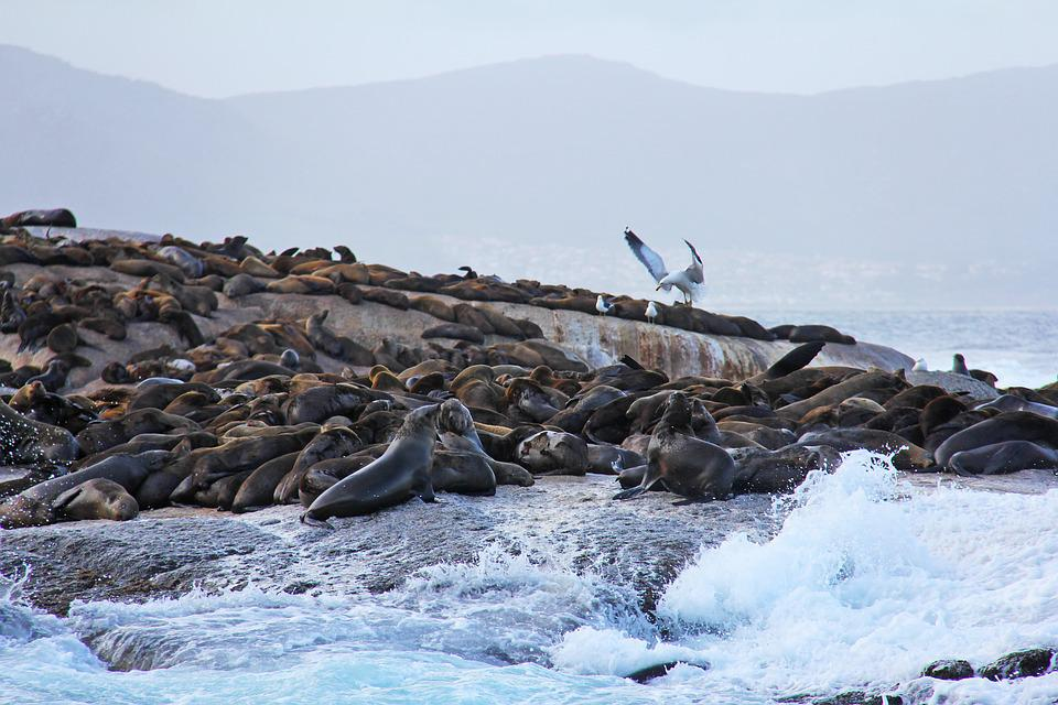 Seals, Island, Thousands, Rocks, Amazing, Exciting