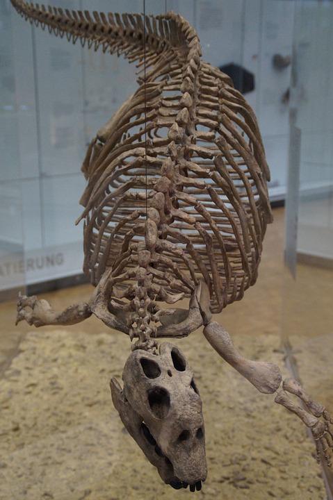 Paddle Lizard, Skeleton, Extinct, Exhibit, Museum