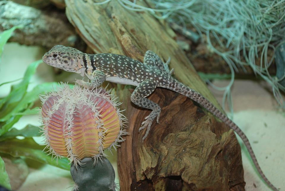 Lizard, Exot, Reptile, Animal, Zoo, Iguana, Close Up