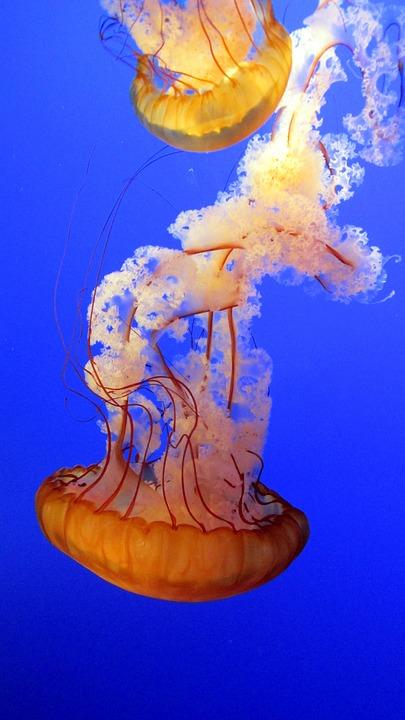 Jellyfish, Blue, Underwater, Marine, Aquarium, Exotic
