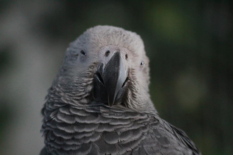 Parrot, Gray, Bird, Exotic, Beak, Animal, Feathers