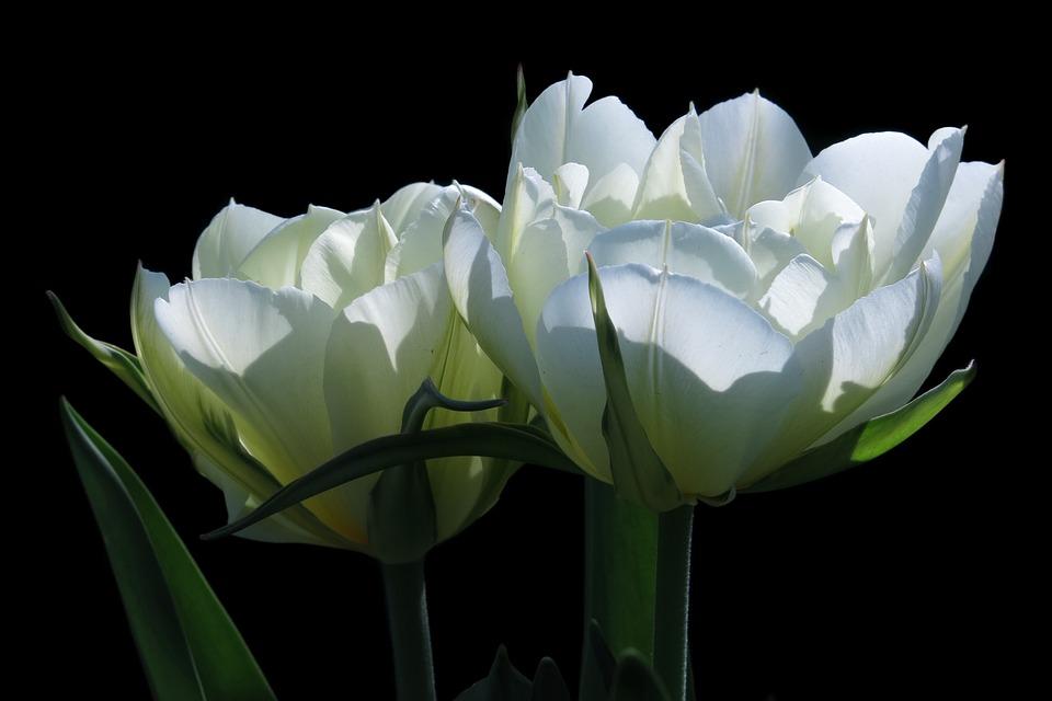 Tulips, White Flower, Fosteriana Tulips, Exotic Emperor