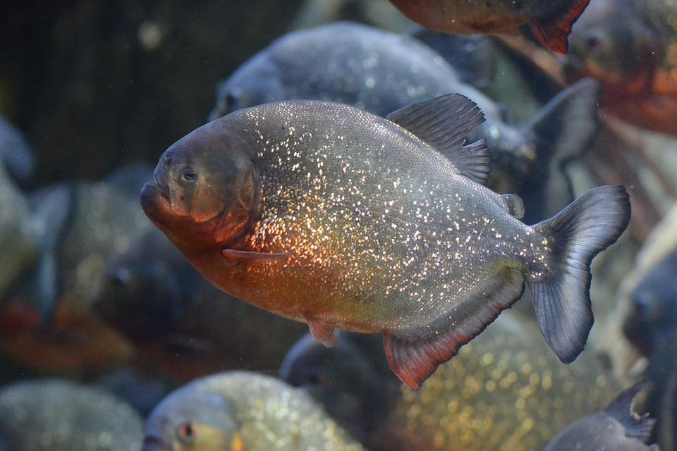 Fish, Dangerous, Underwater, Exotic, Predator, Risk