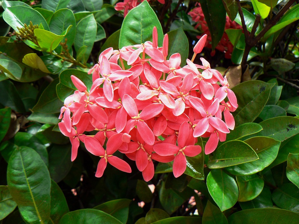 free photo exotic flower botany pink tropical flowers ixora  max, Natural flower