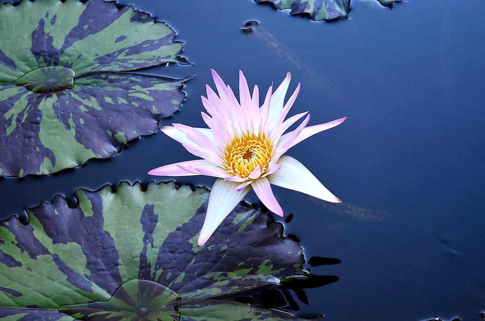 Flower, Plant, Blossom, Bloom, Pond, Exotic Flower