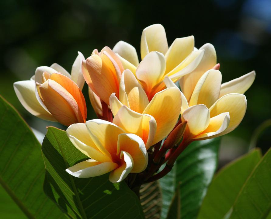 Free photo exotic flowers tropical yellow white plumeria max pixel plumeria flowers tropical exotic white yellow mightylinksfo