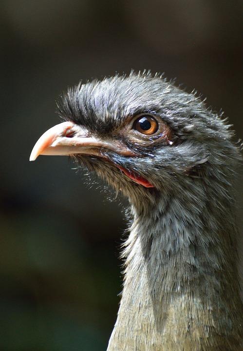 Chaco Chachalaca, Bird, Exotic, Wildlife, Nature