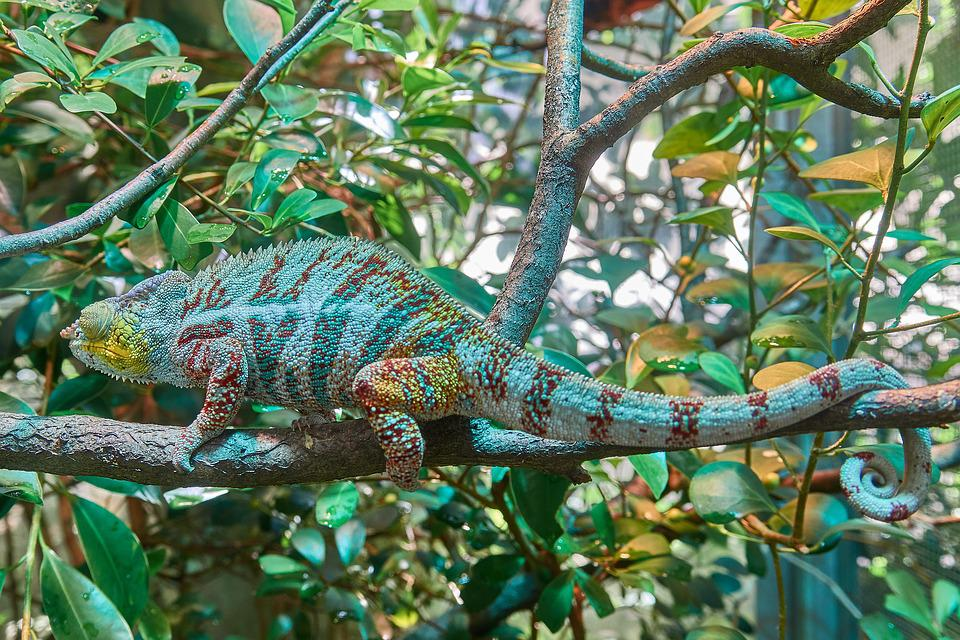 Chameleon, Camouflage, Exotic, Close, Nature