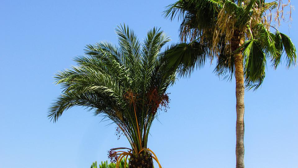 Palm Tree, Palm, Tree, Tropical, Summer, Exotic