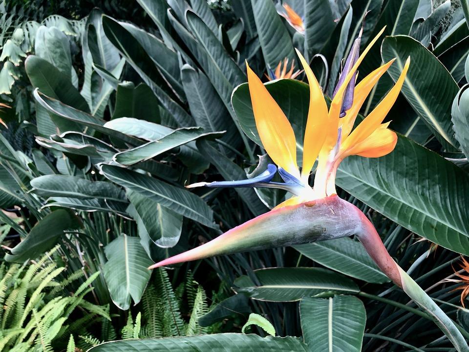 Bird Of Paradise, Tropical, Exotic, Paradise, Nature