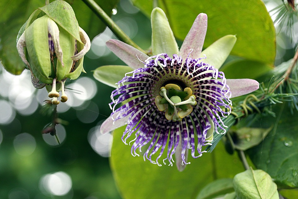 Nature, Flower, Plant, Garden, Passion Fruit, Exotic