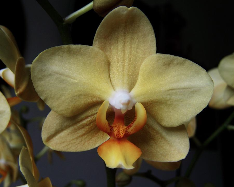 Cream-colored Orchid, Room Plant, Exotic Plant