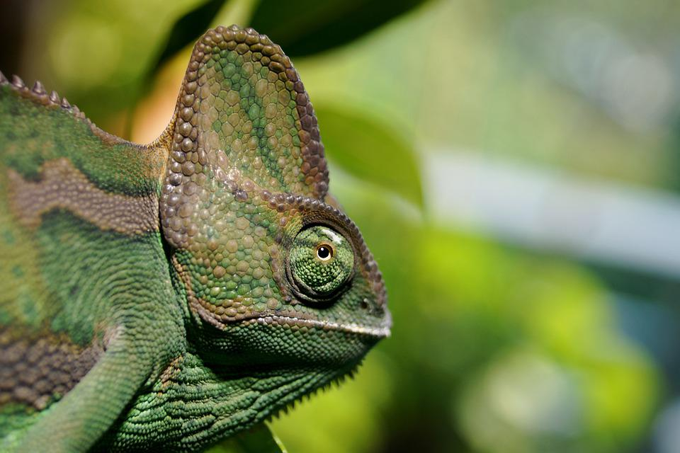 Chameleon, Head, Reptile, Close Up, Eye, Exotic