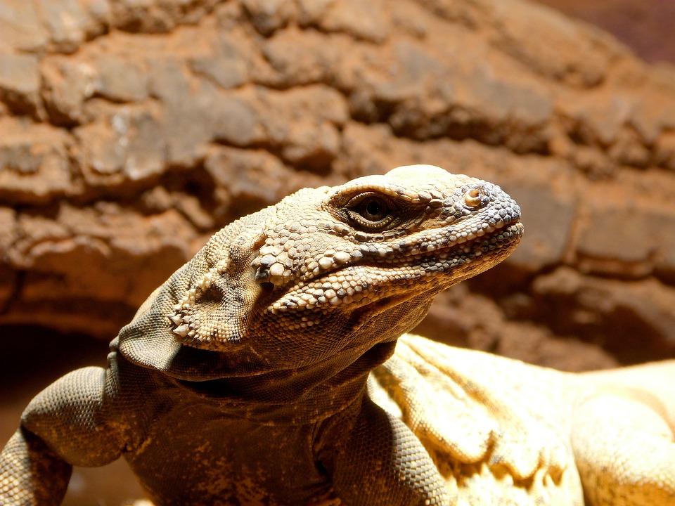 Lizard, Portrait, Brown, Exotic, Skin, Reptile