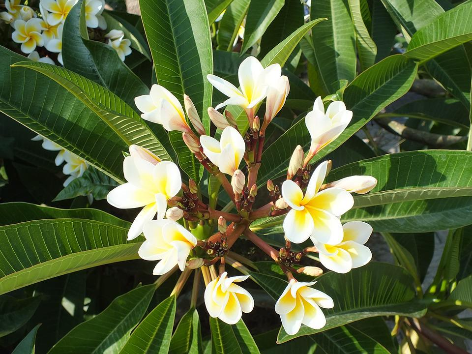 Plumeria, Exotic, Flower, Tropical Plant, White