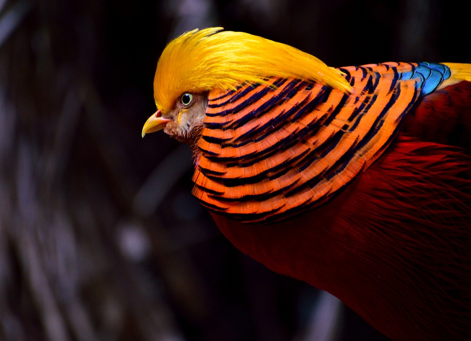 Golden Pheasant, Pheasant, Bird, Yellow-red, Exotic