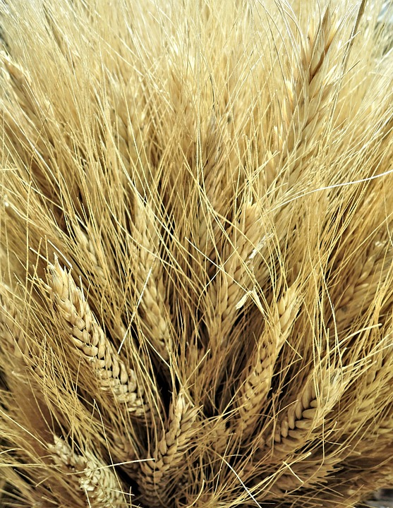 Canadian Wheat, Golden, Grain, Crop, Farming, Export