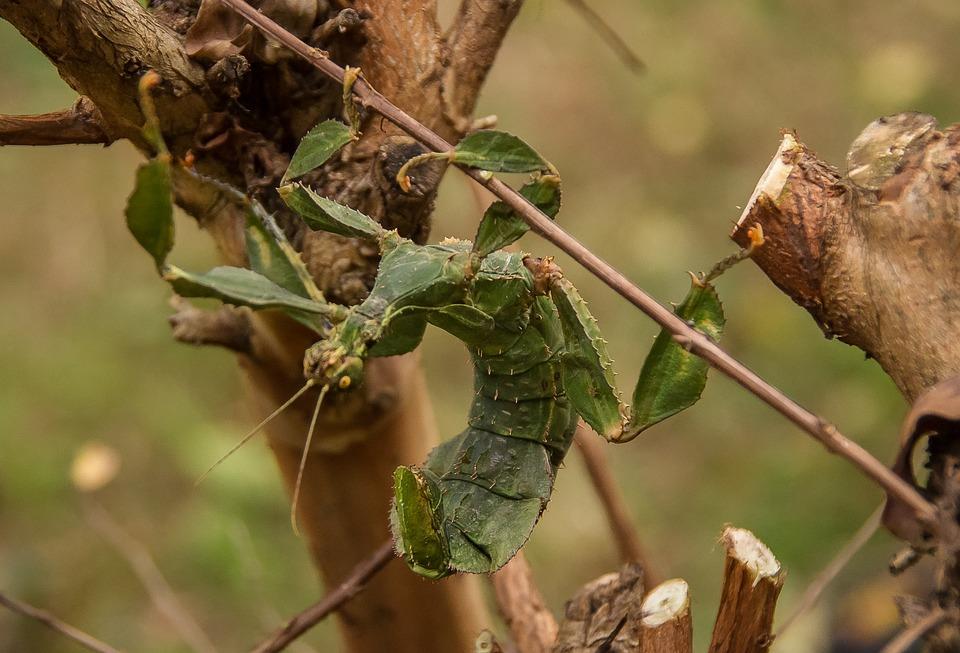 Spiny Leaf Insect, Extatosoma Tiaratum