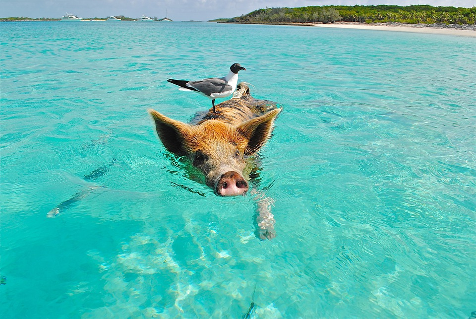 Staniel Cay, Swimming Pig, Seagull, Fish, Exumas