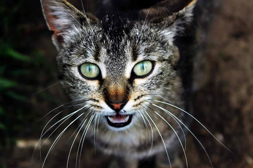 Pet, Cat, Eye, Anger