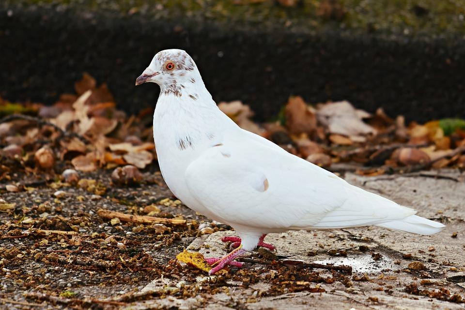 White Dove, Bird, Animal, Pigeon, Feathers, Beak, Eye