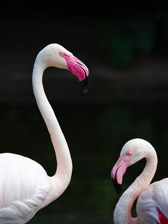 Flamingo, Bird, Animal, Neck, Eye, Animals, Birds, Beak