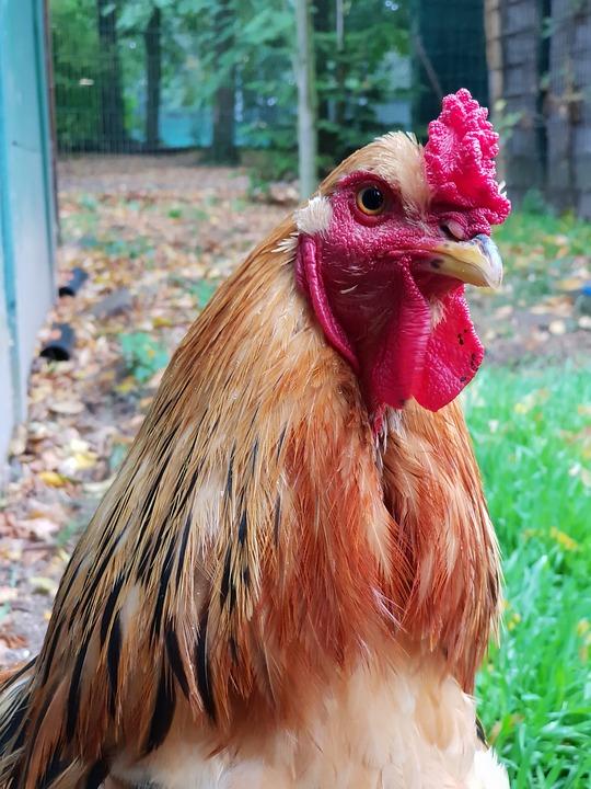 Chicken, Urinary, Bird, Prieser, Beautiful, Hahn, Eye