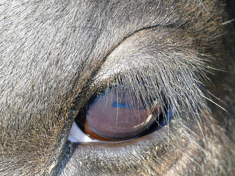 Free Photo Eye Eyelashes Kuhauge Cow Close Max Pixel